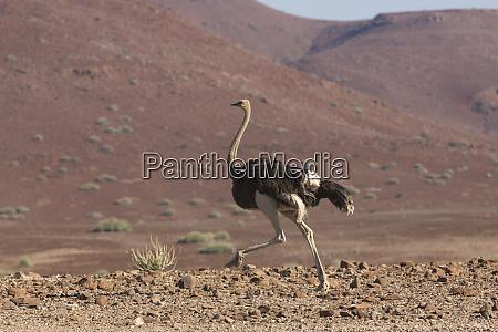 common ostrich struthio camelus struts through