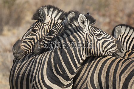 zebras necking common social behavior in