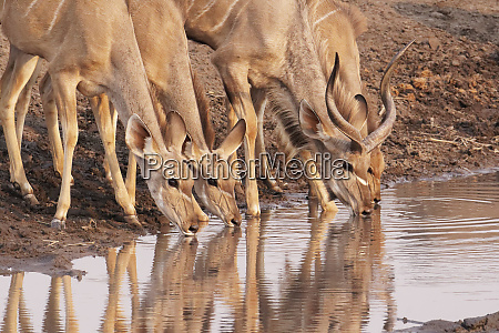 greater kudu tragelaphus strepsiceros drink at