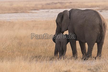mother elephant loxodonta africana sticks close