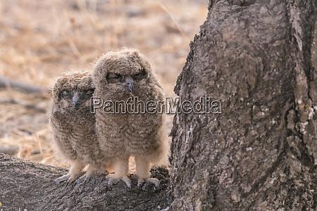 sleepy african spotted eagle owl bubo