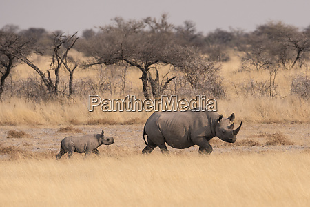 female black rhinoceros diceros bicornis with