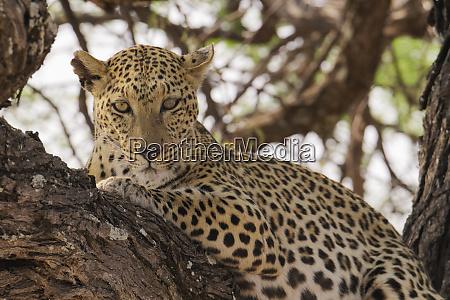 wild leopard resting in tree in