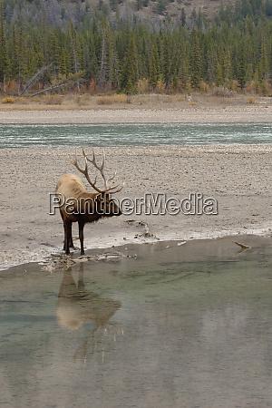 rocky mountain bull elk reflecting