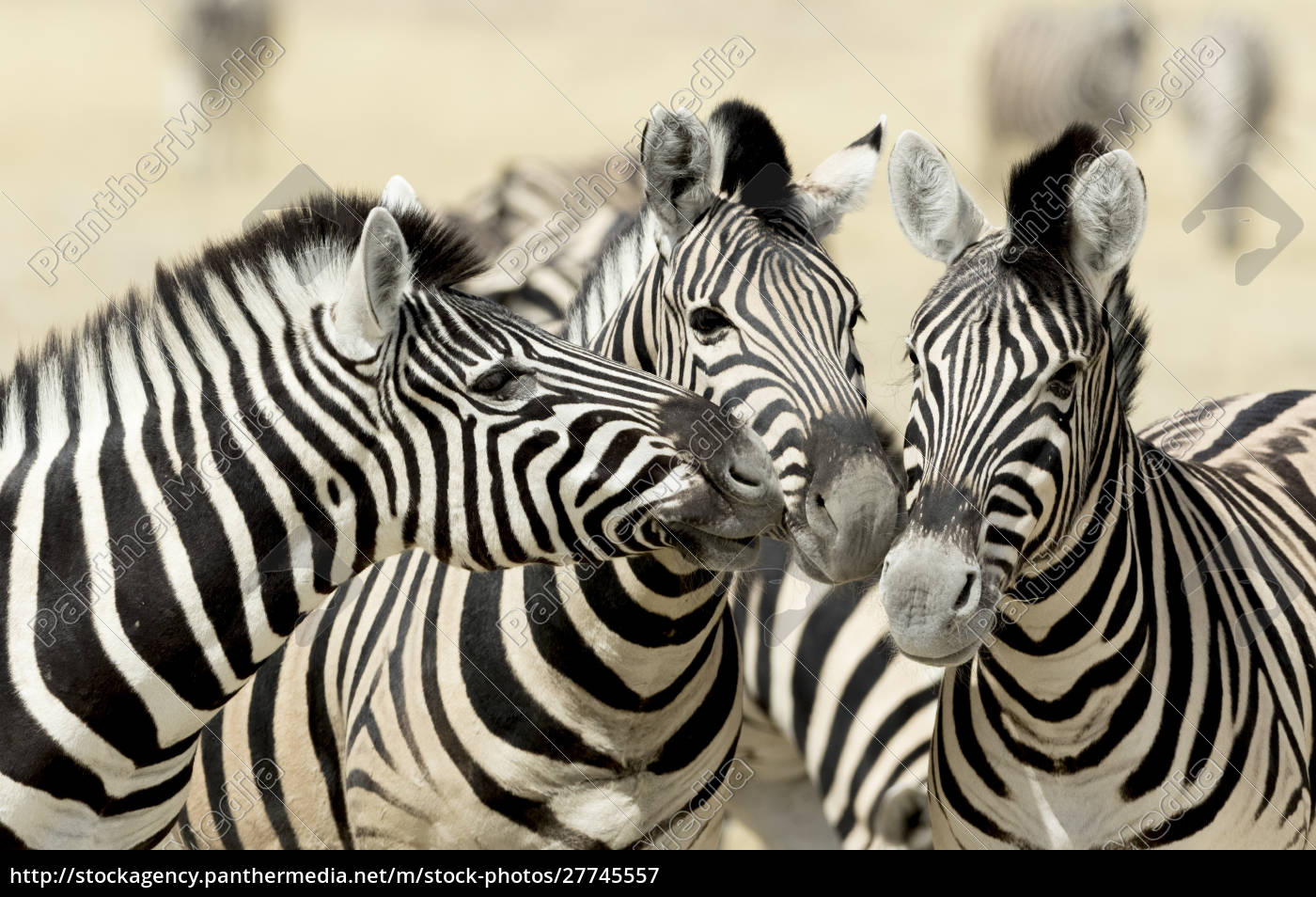 africa, , namibia, , etosha, , national, park., three - 27745557