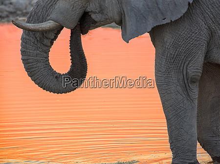 africa, , namibia, , etosha, national, park., drinking - 27745261