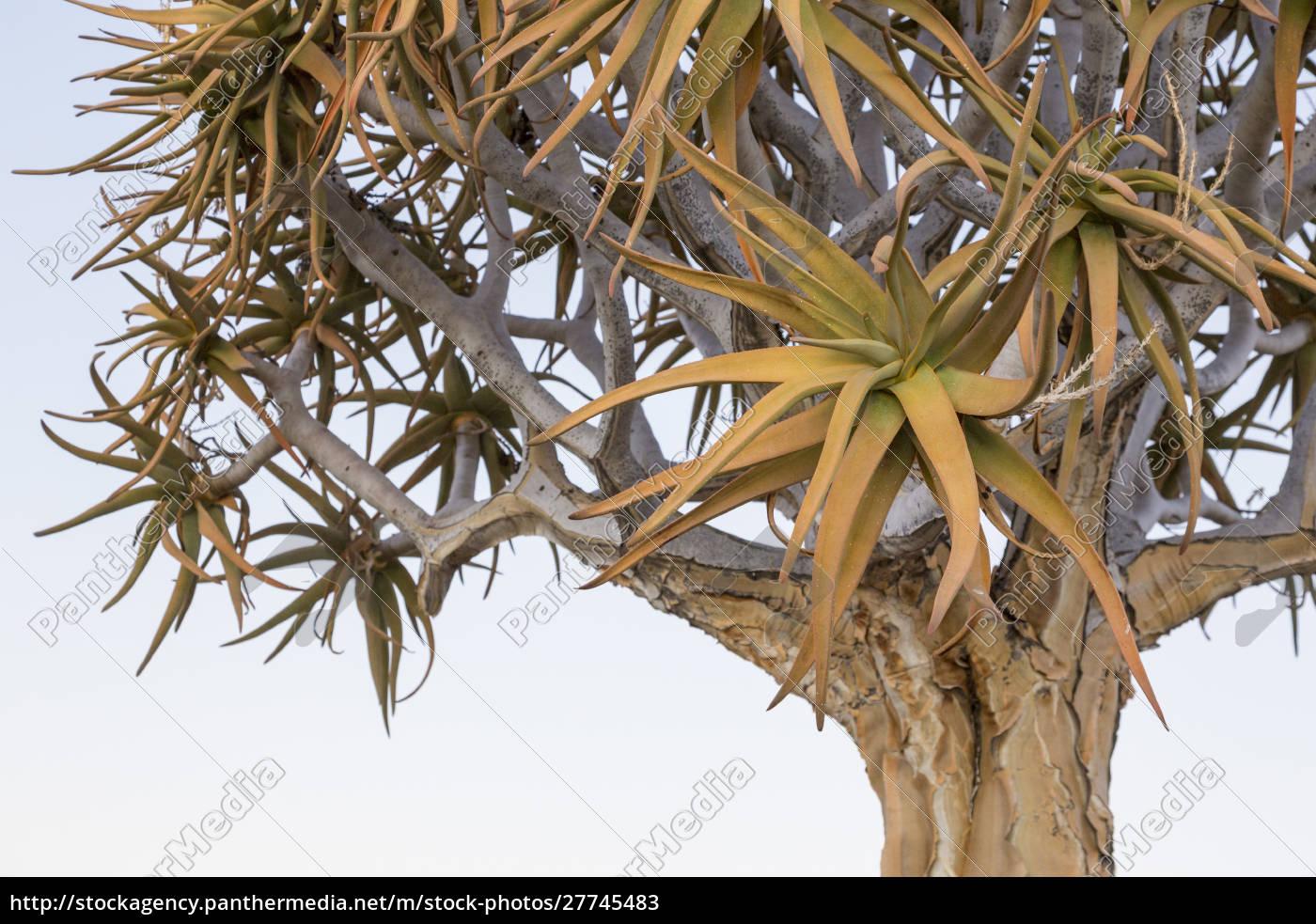 africa, , namibia, , keetmanshoop., quiver, tree, top. - 27745483