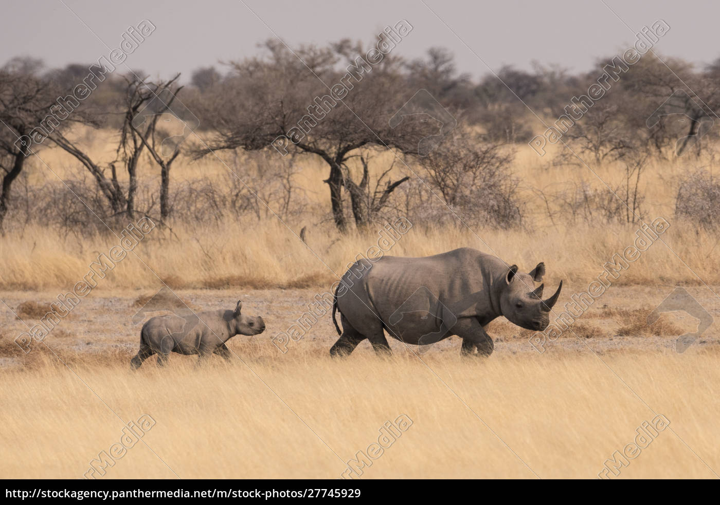 female, black, rhinoceros, (diceros, bicornis), with - 27745929