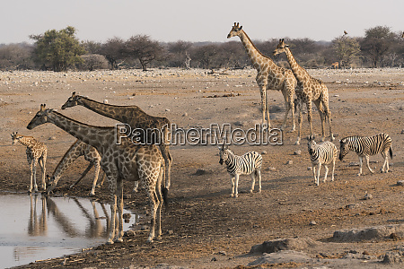 giraffe, (giraffa, camelopardalis, angolensis), and, burchell's - 27745895