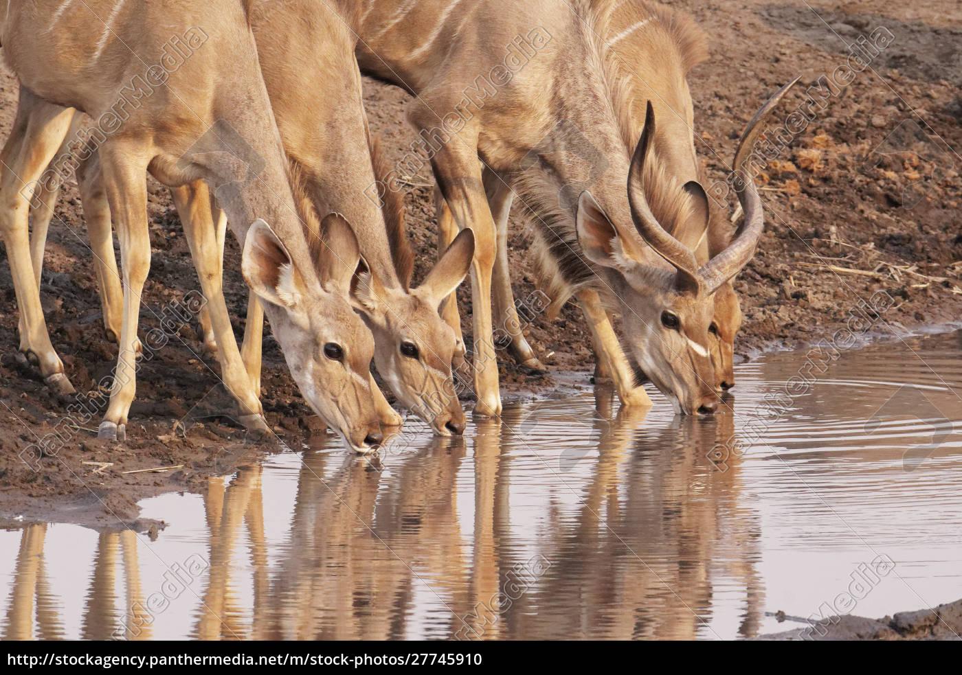 greater, kudu, (tragelaphus, strepsiceros), drink, at - 27745910