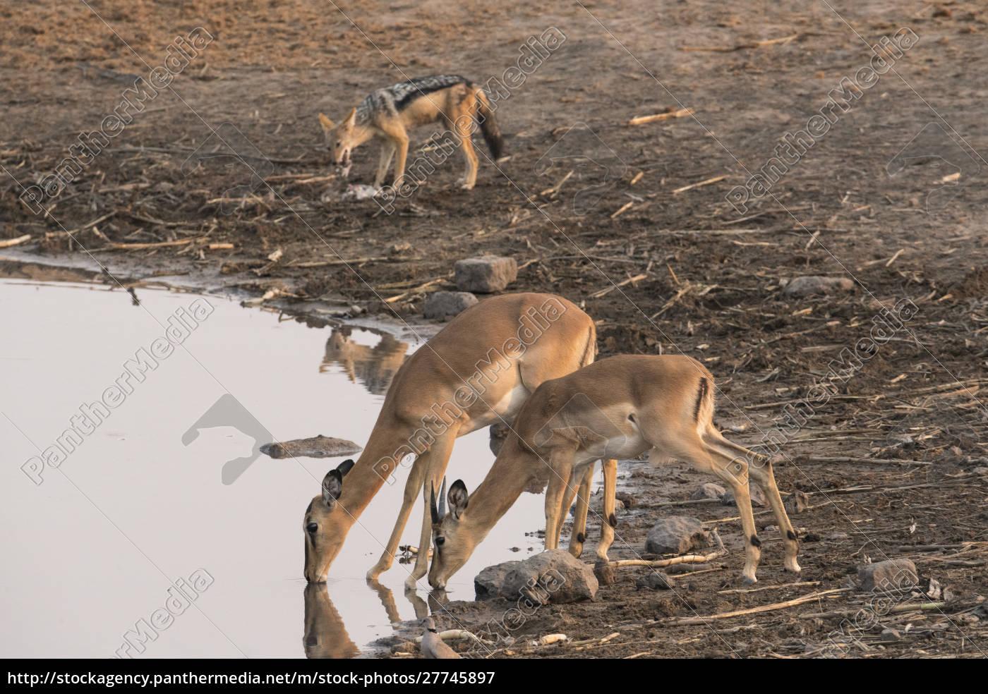 two, common, impala, (aepyceros, melampus), drink - 27745897