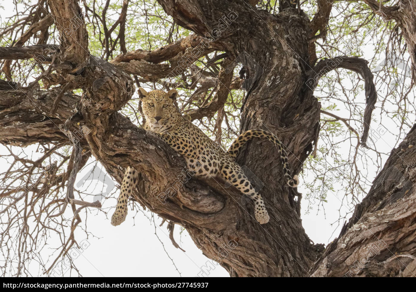 wild, leopard, resting, in, tree, in - 27745937
