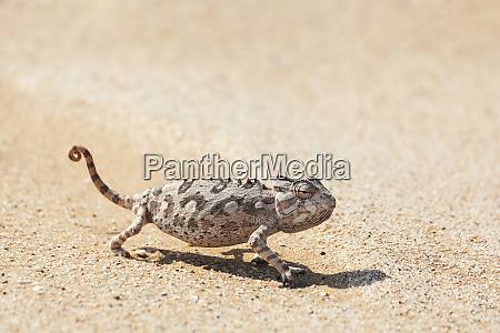africa namibia swakopmund namaqua chameleon chamaeleo