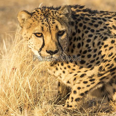 africa namibia keetmanshoop cheetah at the