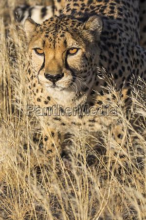 africa namibia cheetah