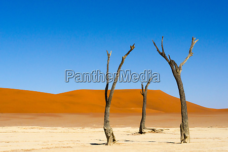 dead acacia trees in deadvlei sossusvlei