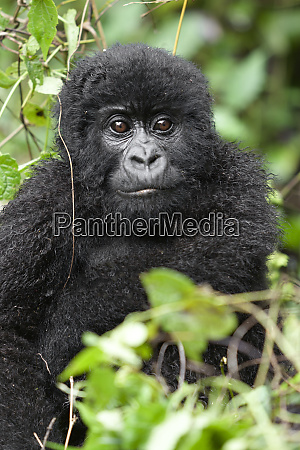 africa rwanda volcanoes national park juvenile