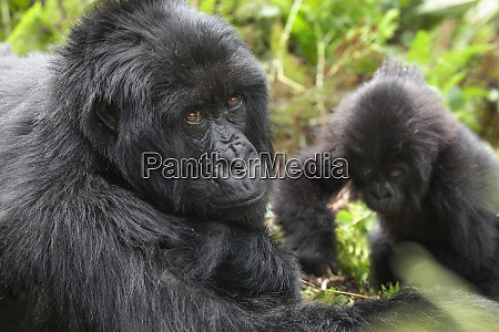 africa rwanda volcanoes national park mother