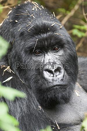 africa rwanda volcanoes national park portrait