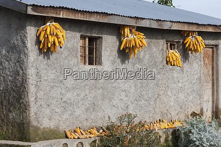 africa rwanda ruhengeri corn drying on
