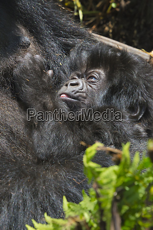 gorilla mother holding 20 day old