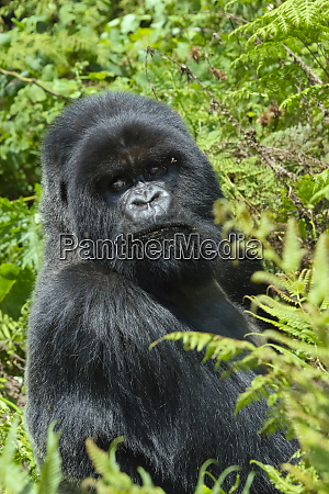 silverback gorilla in the forest parc