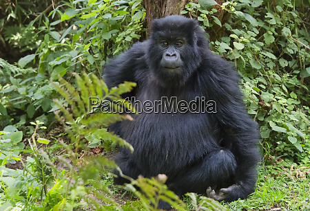 gorilla in the forest parc national
