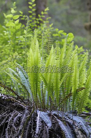 canada british columbia western sword fern