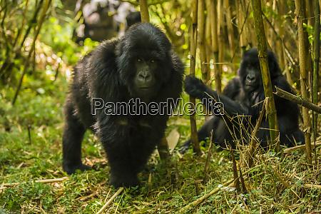 africa rwanda juvenile mountain gorilla gorilla