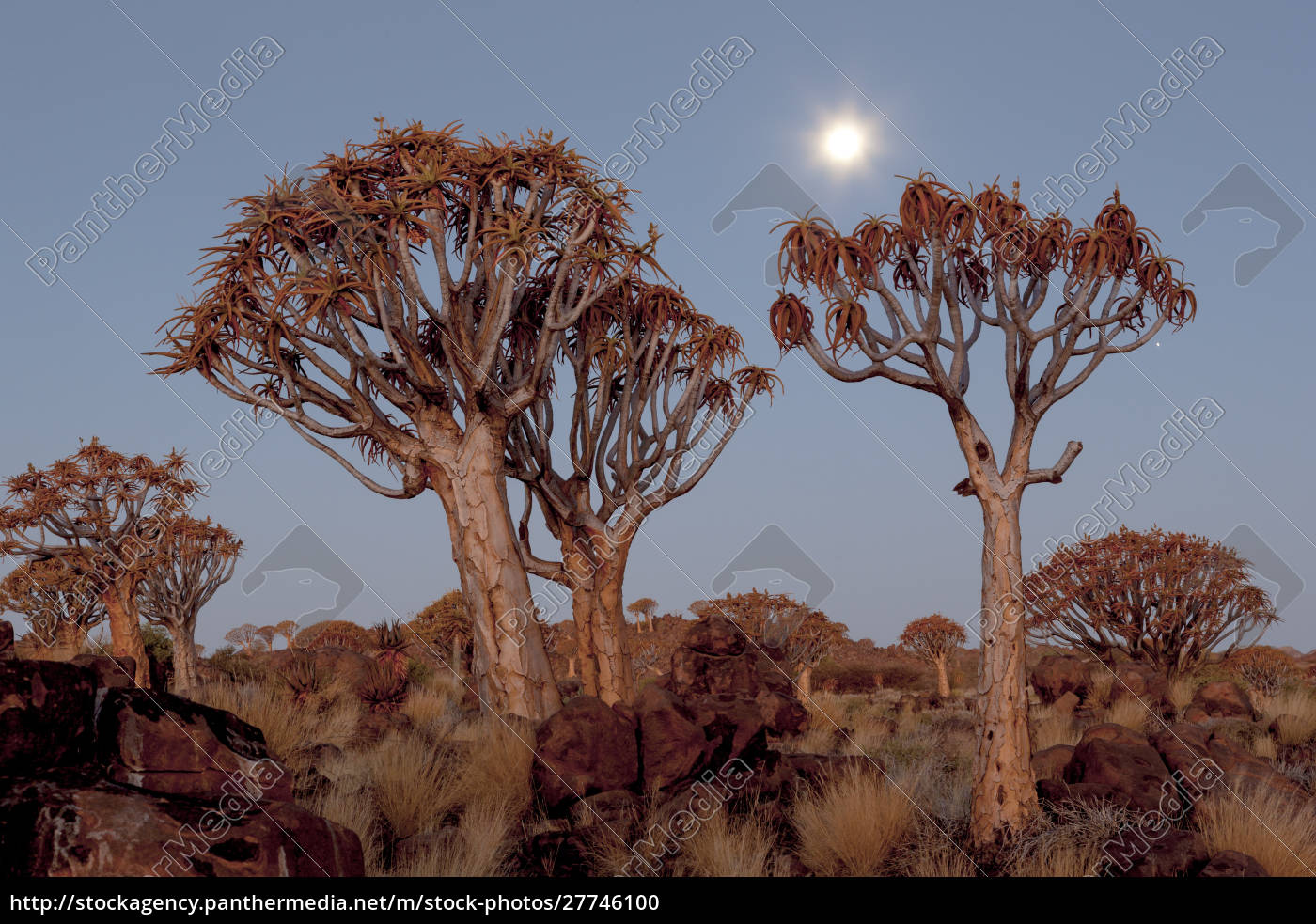 africa, , namibia, , keetmanshoop, , quiver, tree, forest, - 27746100