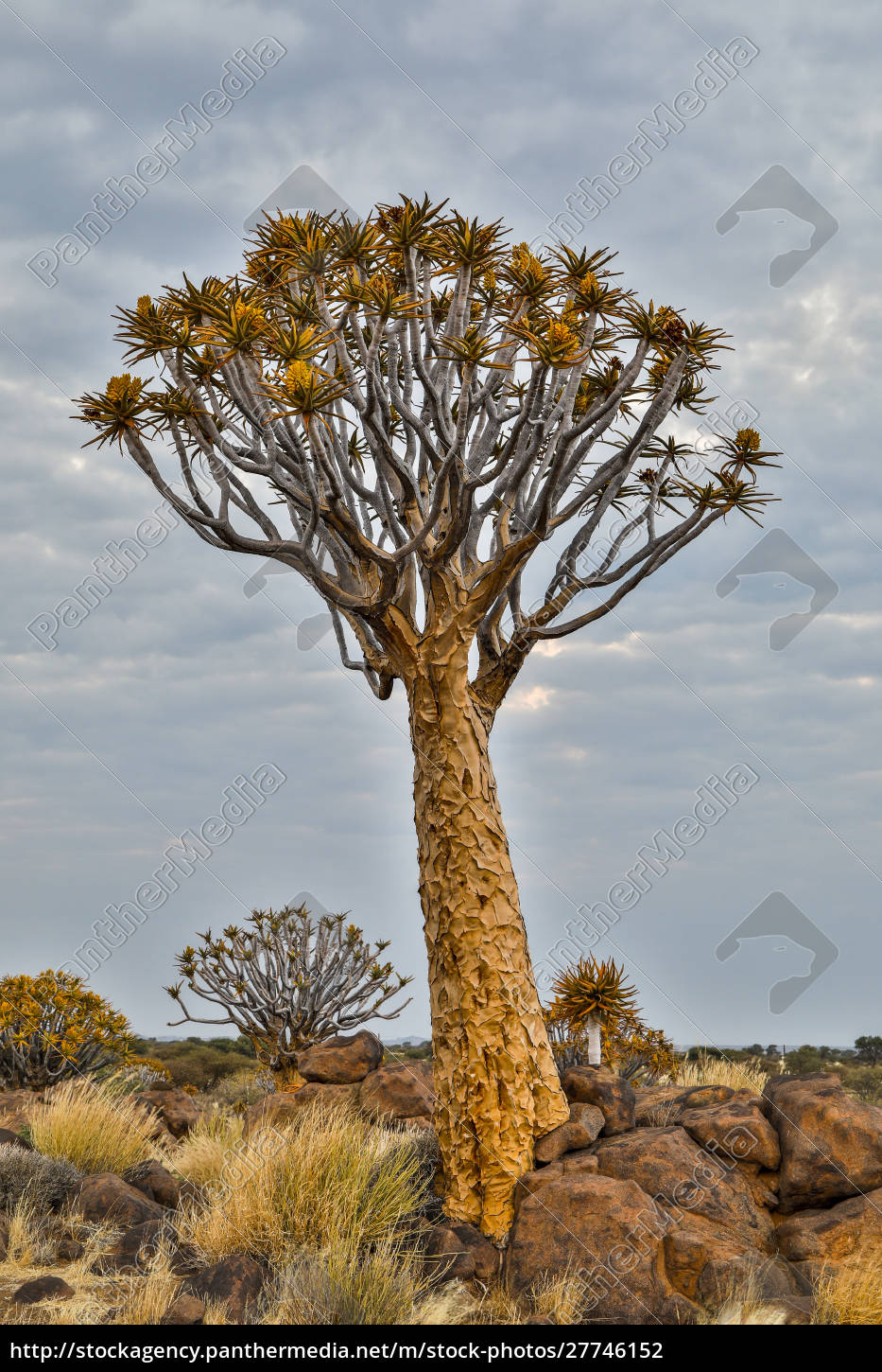 africa, , namibia, , keetmanshoop., quiver, tree, forest - 27746152