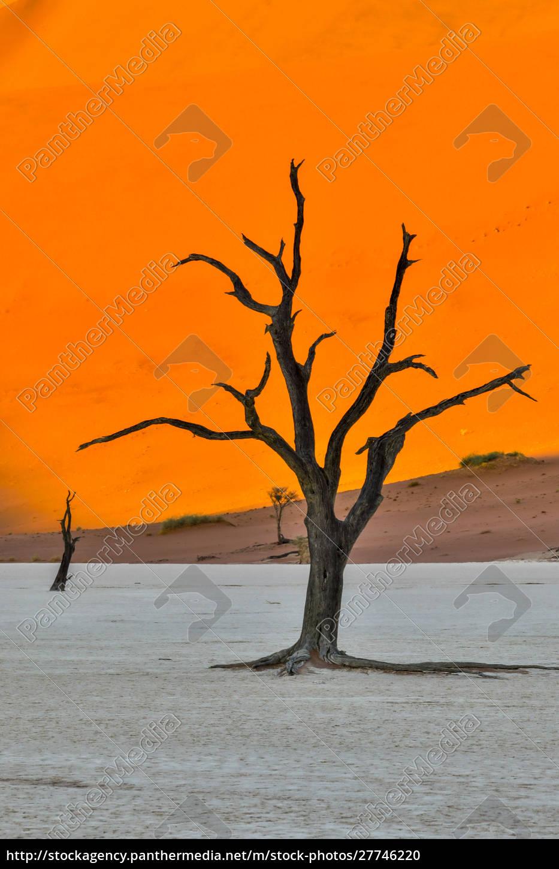 africa, , namibia, , sossusvlei., dead, acacia, trees - 27746220