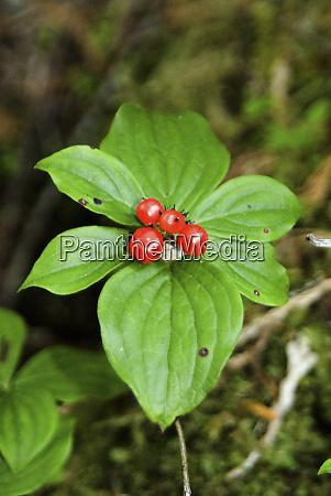 temperate rainforest berries bramham island british