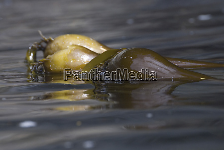 bull kelp broken island group pacific
