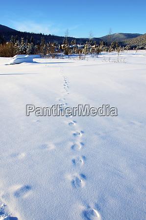 rabbit tracks on a meadow winter