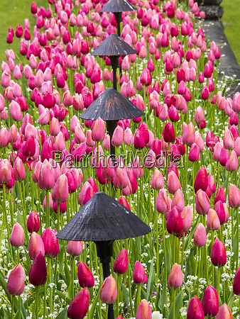 tulips in mass planting