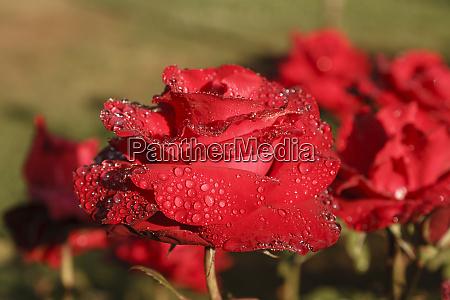 rose garden british columbia canada