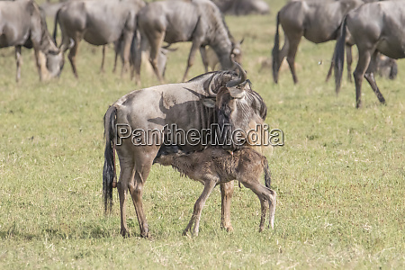 africa tanzania ngorongoro crater wildebeest connochaetes