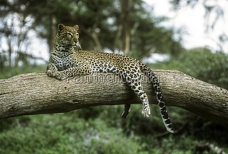 an alert leopard rest on a