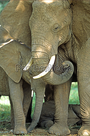 mother african elephant loxodonta africana protecting