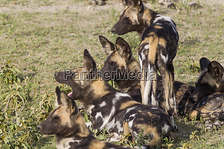 four multicolored wild african dogs lie