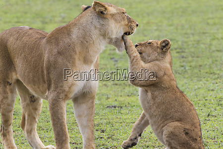 lion cub rising to standing lioness