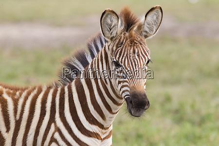 close up of newborn zebra equus