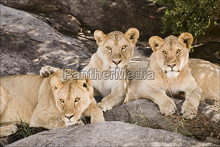 tanzania africa three lions sit in