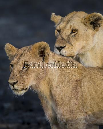 africa tanzania african lions panthera leo