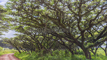 africa tanzania epiphytes crowd branches of