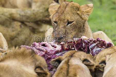 africa tanzania pride of african lions