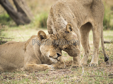 africa zambia two lionesses showing affection
