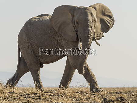 africa zambia lone elephant showing aggression