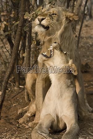 livingstone zambia africa lions mating